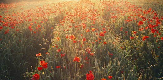 Stock Photo: 1885-28824 France, Picardy, Amiens, Poppies in wheat field at sunrise