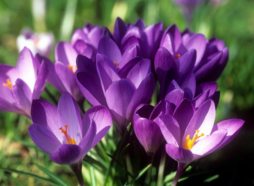 Natural World, Flowers and Foliage, Autumn Crocuses in bloom : Stock Photo