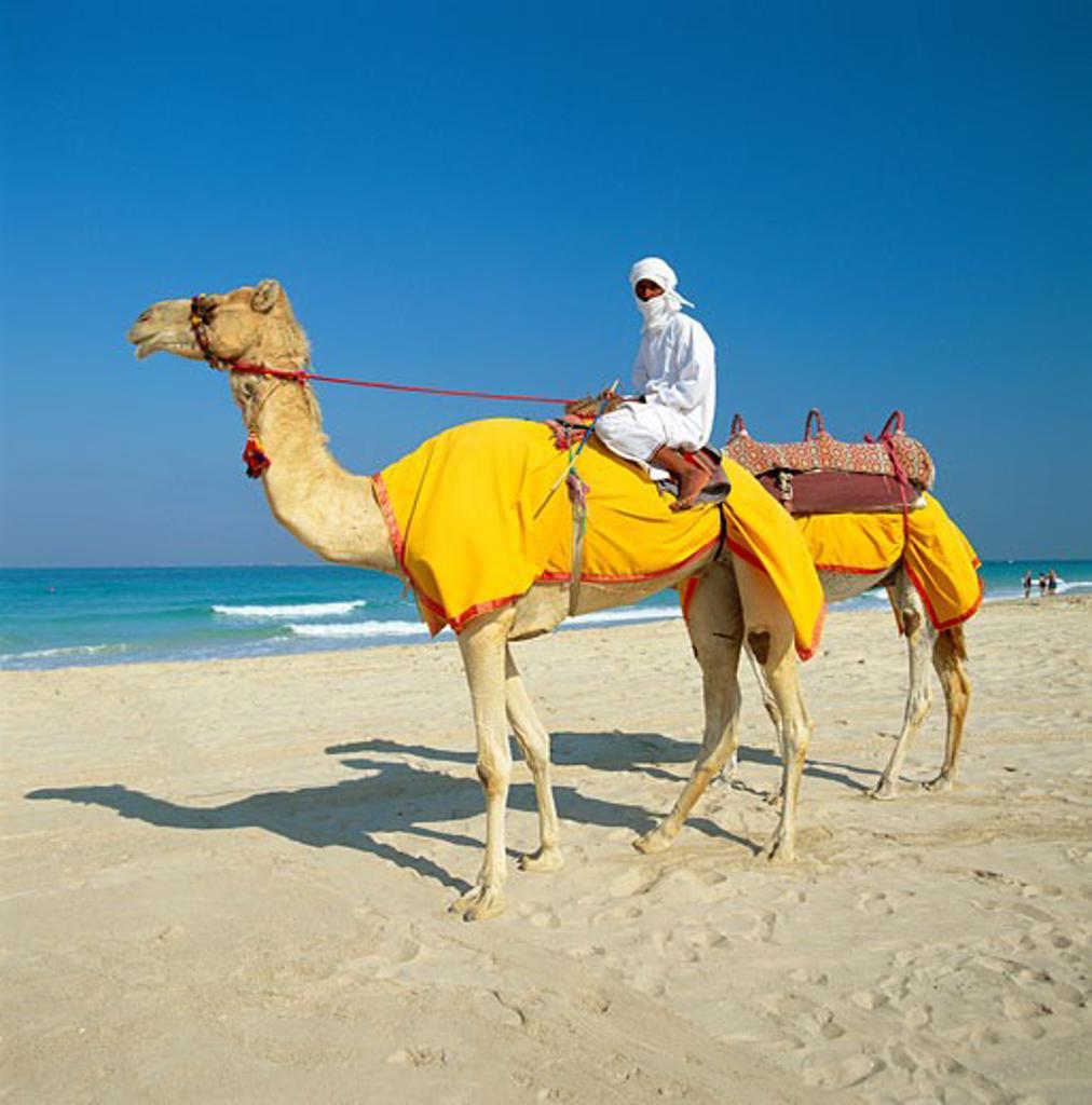 United Arab Emirates, , Dubai, Camels & Rider on Beach : Stock Photo