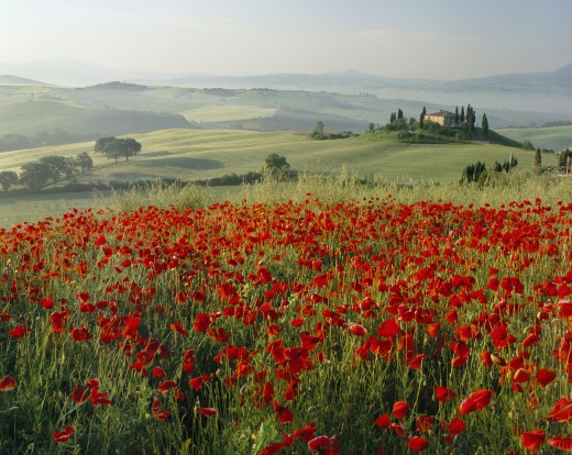 Stock Photo: 1885-6120 Italy, Tuscany, General - Landscape, Poppy Field