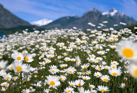 Argentina, , , Bariloche, Field of Daisies : Stock Photo