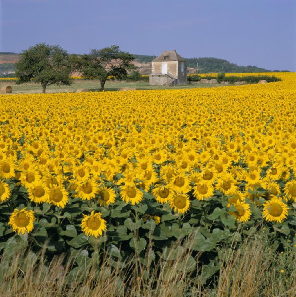 France, Burgundy, General, Sunflower field : Stock Photo