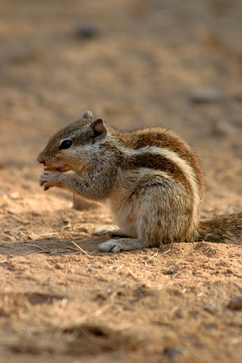 Stock Photo: 1885-8706 INDIA, RAJASTHAN, RANTHAMBORE NATIONAL PARK, A GROUND SQUIRREL