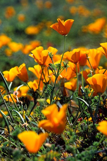 CALIFORNIA POPPY PLANTS (Eschscholzia californica) in bloom - MONTEREY, COUNTY, CALIFORNIA : Stock Photo