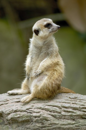 Stock Photo: 1886-47207 animal  ; meerk at  ; Singapore zoo  ; South East Asia
