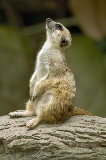 animal ;meerk at ; Singapore zoo ; South East Asia : Stock Photo