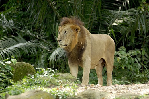 Stock Photo: 1886-47226 Lion (panthera lea)  in zoo at Singapore ; South East Asia