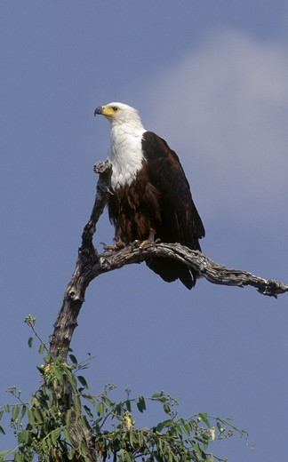 An AFRICAN FISH EAGLE (Haliaeetus Vocifer) perched in a tree - CHOBE NATIONAL PARK, BOTSWANA : Stock Photo