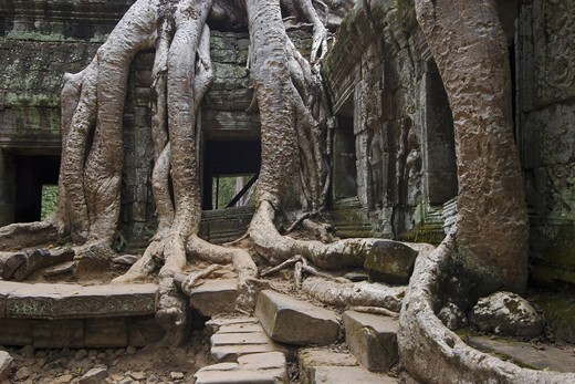 Stock Photo: 1886-50837 Silk cotton or kapok tree roots (Ceiba Pentandra) invade the Khmer ruins of Ta Prohm, built by Jayavarman VII, part of Angkor Wat - Siem Reap, Cambodia