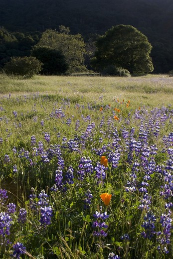 LUPINE flowers & CALIFORNIA POPPIES (Eschscholtzia californica) bloom in spring at Garland Regional Park - CARMEL VALLEY, CALIFORNIA : Stock Photo