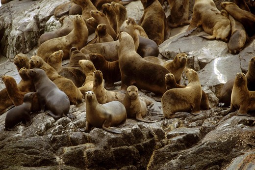 Stock Photo: 1886-51159 A COLONY OF SOUTHERN SEA LIONS (Otaria flavescens) live on a rock in the temperate rain forest - PATAGONIA, CHILE