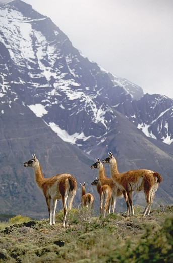 Stock Photo: 1886-51171 Female GUANACOS (Lama guanicoe) & babies in TORRES DEL PAINE NP with ANDES PEAK behind - PATAGONIA, CHILE