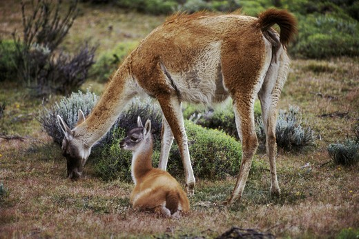 Stock Photo: 1886-51177 Female GUANACOS (Lama guanicoe) with baby in TORRES DEL PAINE NP with ANDES PEAK behind - PATAGONIA, CHILE