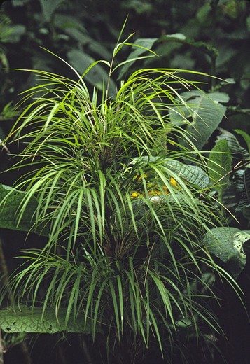 BAMBOO PLANT in TROPICAL RAINFOREST in MONTEVERDE BIOLOGICAL RESERVE - COSTA RICA : Stock Photo