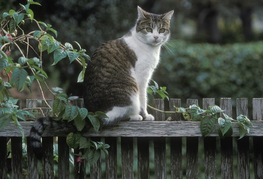 A cat sits on a wooden fence.  Pacific Grove, California. Pacific Grove, California, USA : Stock Photo