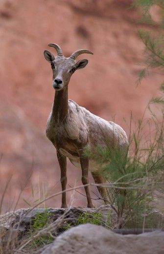 Stock Photo: 1886-51968 A female BIG HORN SHEEP, Ovis canadensis, at VASEY'S PARADISE located near mile 32 - GRAND CANYON, ARIZONA