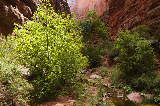 Trees grow in SADDLE CANYON, a beautiful side hike at mile 47 along the Colorado River - GRAND CANYON, ARIZONA : Stock Photo