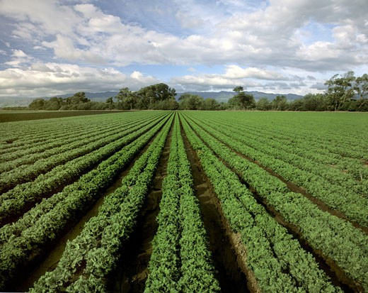 Stock Photo: 1886-5404 A field of CURLY LEAF LETTUCE flourishes in CENTRAL CALIFORNIA