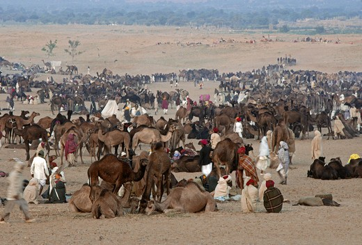 CAMELS and INDIANS in the DESERT at the PUSHKAR CAMEL FAIR, a 5 day religious and commercial festival - RAJASTHAN, INDIA : Stock Photo