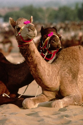 Stock Photo: 1886-54660 CAMELS with decorative JEWELRY on their face at the PUSHKAR CAMEL FAIR, a 5 day religious festival - RAJASTHAN, INDIA