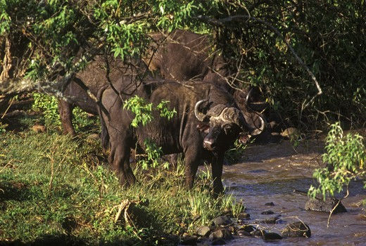 Stock Photo: 1886-54823 A CAPE BUFFALO (Synceros Caffer) drinks from a stream - NGORONGORO CRATERCONSERVATION AREA, TANZANIA