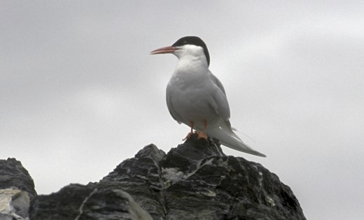 SOUTH AMERICAN TERN (Sterna hirundinacea) in the CANAL BEAGLE - TIERRA DEL FUEGO, ARGENTINA : Stock Photo
