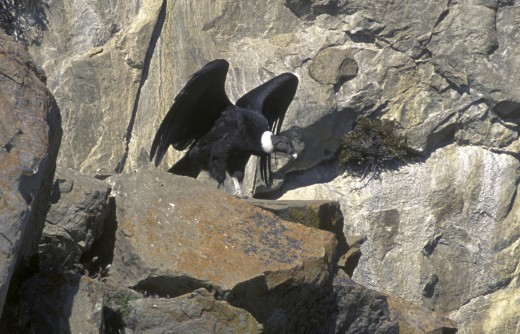 Stock Photo: 1886-5491 A FEMALE ANDEAN CONDOR (Vultur gryphus) nesting on cliff in LOS GLACIARES NATIONAL PARK - PATAGONIA, ARGENTINA