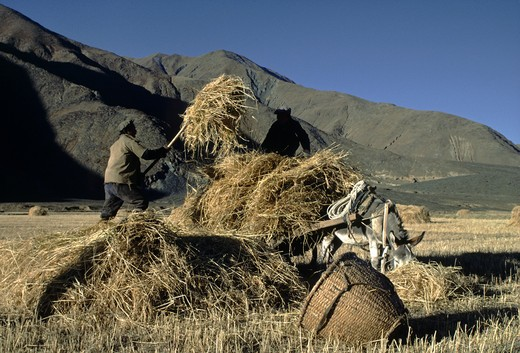 Stock Photo: 1886-55193 Tibetan farmers harvest barley straw with a horse drawn cart - Gyantse Valley, Tibet