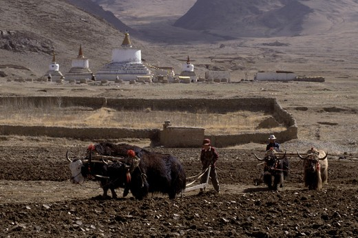 Stock Photo: 1886-55221 TIBETANS PLOW the land with YAKS inspired by the large STUPAS in their village - CENTRAL TIBET