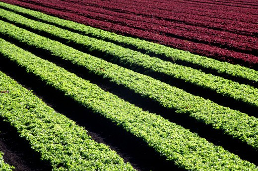 Stock Photo: 1886-55617 Alternating rows of baby red and green curly leaf lettuce - Watsonville,  California