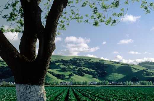 Almond tree and cauliflower field - Salinas Valley, California : Stock Photo