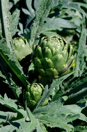 Stock Photo: 1886-55693 Close up of artichokes growing on the stalk, Central Coast of California