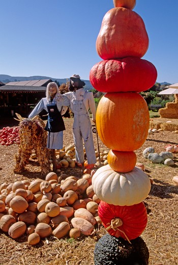 Stock Photo: 1886-55694 PUMPKINS of various colors and fall harvest squash displayed for Hallowe'en with scarecrows - EARTHBOUND FARMS, CARMEL VALLEY, CALIFORNIA