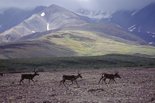 Stock Photo: 1886-55734 YOUNG MALE CARIBOU in the POLYCHROME GLACIER AREA - DENALI NATIONAL PARK, ALASKA