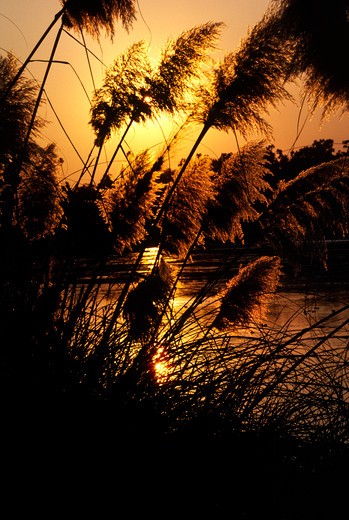 Stock Photo: 1886-55985 PAMPAS GRASS (Cortaderia selloana) at sunset - SANTA BARBARA