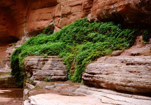 Stock Photo: 1886-56071 MAIDEN HAIR FERNS flourish on a weeping wall in FERN GLEN CANYON - GRAND CANYON NATIONAL PARK, ARIZONA