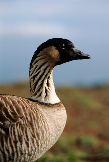 Close-up of the endangered NENE GOOSE (Branta sandvicensis) found only on the Hawaiian Islands - MAUI, HAWAII : Stock Photo