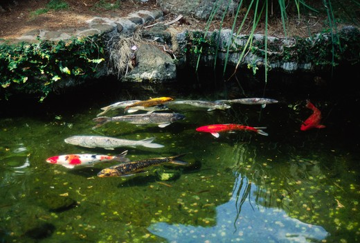 JAPANESE KOI (Cyprinus carpio) POND display in the IAO VALLEY STATE PARK, considered sacred by the Hawaiians  - MAUI, HAWAII : Stock Photo