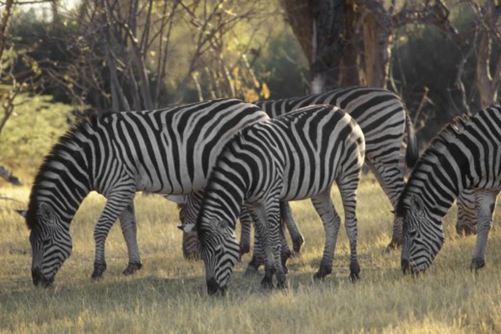 A herd of BURCHELL'S ZEBRA in the OKAVANGO DELTA - BOTSWANA : Stock Photo