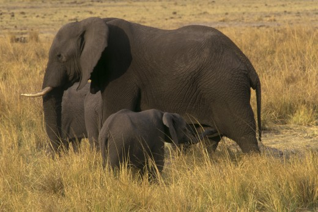 AFRICAN ELEPHANTS (Loxodaonta Africana) are social animals & have a MATRIARCHAL society - CHOBE NATIONAL PARK, BOTSWANA : Stock Photo