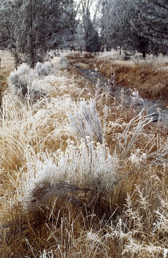 WINTER FROST encrusts native grasses - CENTRAL OREGON : Stock Photo