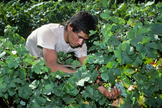 Worker picking CHARDONNAY GRAPES on the vine at MADRONA VINEYARDS - CAMINO, CALIFORNIA : Stock Photo