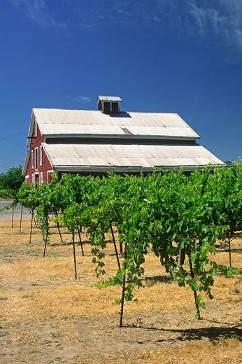 A RED BARN and WINE GRAPES - SANOMA, CALIFORNIA : Stock Photo