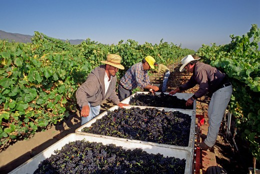 Farm workers inspect & clean PINOT NOIR GRAPES  freshly picked & headed for the crush - MONTEREY COUNTY, CALIFORNIA : Stock Photo