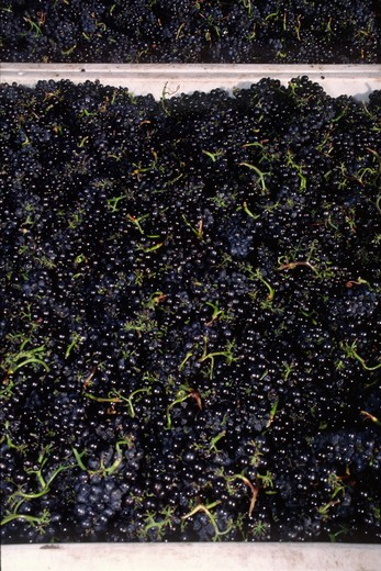 Stock Photo: 1886-56775 Large bins of freshly picked PINOT NOIR WINE GRAPES are headed for the crush - MONTEREY COUNTY, CALIFORNIA