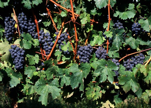 MERLOT GRAPES ripening on the VINE - MONTEREY COUNTY, CALIFORNIA : Stock Photo
