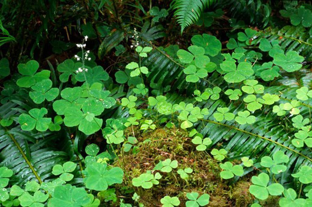 Stock Photo: 1886-56796 Clover, moss & ferns flourish on the HOR RAIN FOREST floor - OLYMPIC NATIONAL PARK, WASHINGTON