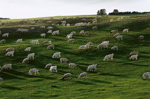 Stock Photo: 1886-57540 Herd of Sheep