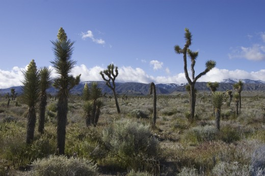 JOSHUA TREES (Yucca Brevifolia) in bloom in the MOJAVE DESERT -  SOUTHERN, CALIFORNIA : Stock Photo