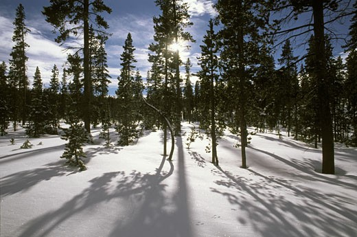A mixed coniferous FOREST in a SNOWY MEADOW in the THREE SISTERS WILDERNESS in the CASCADES - OREGON : Stock Photo